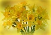 daffodils-2128850_1920