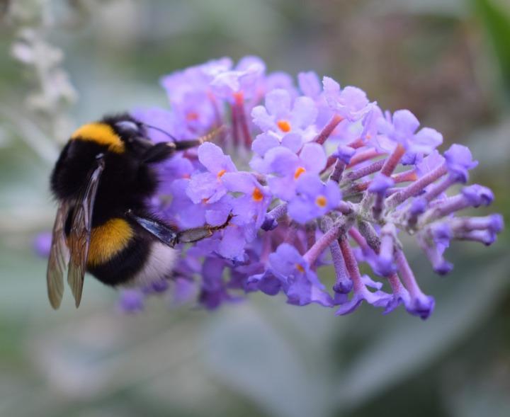 bumblebee-2826681_1920-2