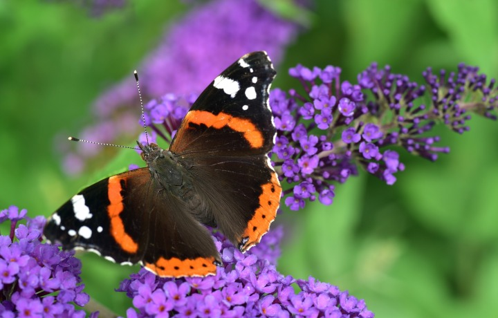Red admiral butterfly on lilac plant